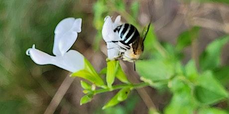 Australian Pollinator Week Blue Mountains ZOOM Workshop tickets