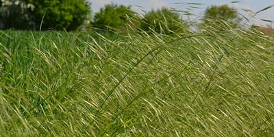 Native Grasses in Your Landscape