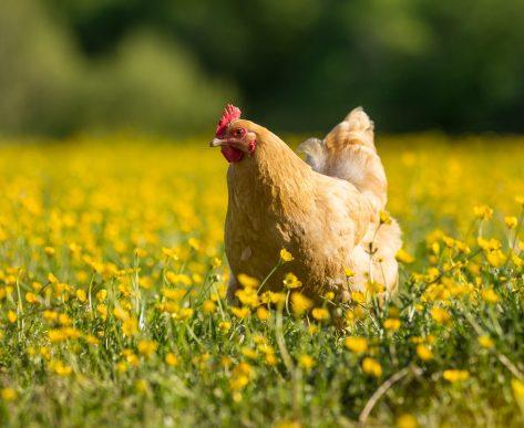 Backyard Chickens Workshop