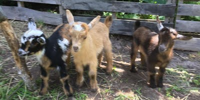 Gentle Goat Yoga plus Guided Meditation Combo (with lots of goat cuddles)