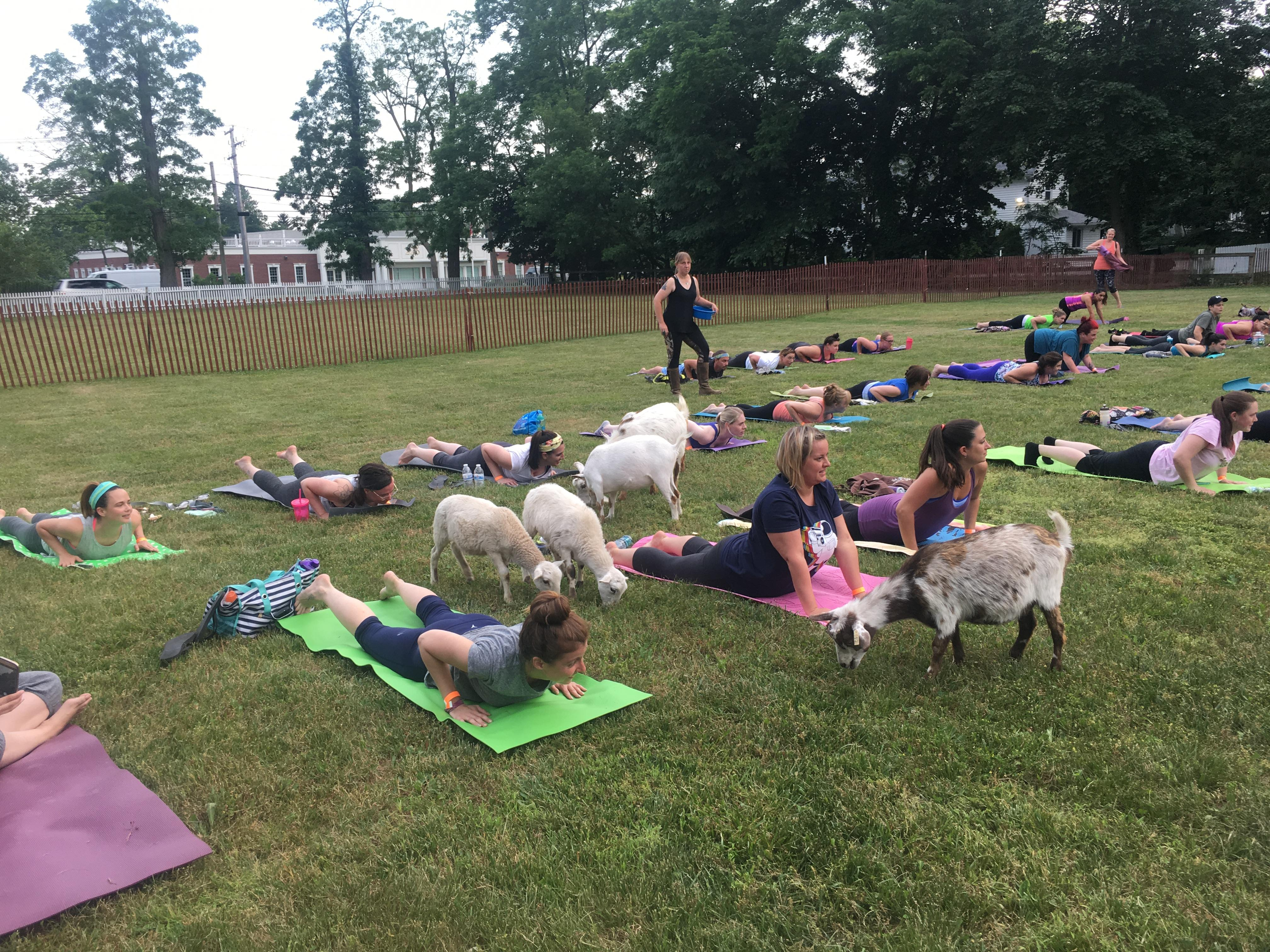 Goat Yoga (Experienced Yoga Practice)