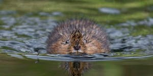 Water Vole Ecology, Conservation and Handling -...