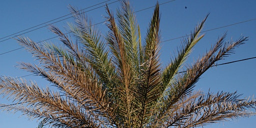 Palm Care, Maintenance and Diseases