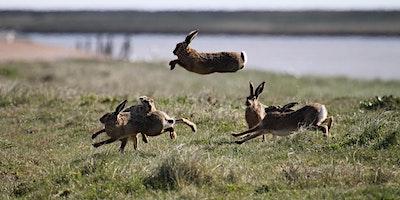RSPB - Havergate's Hares