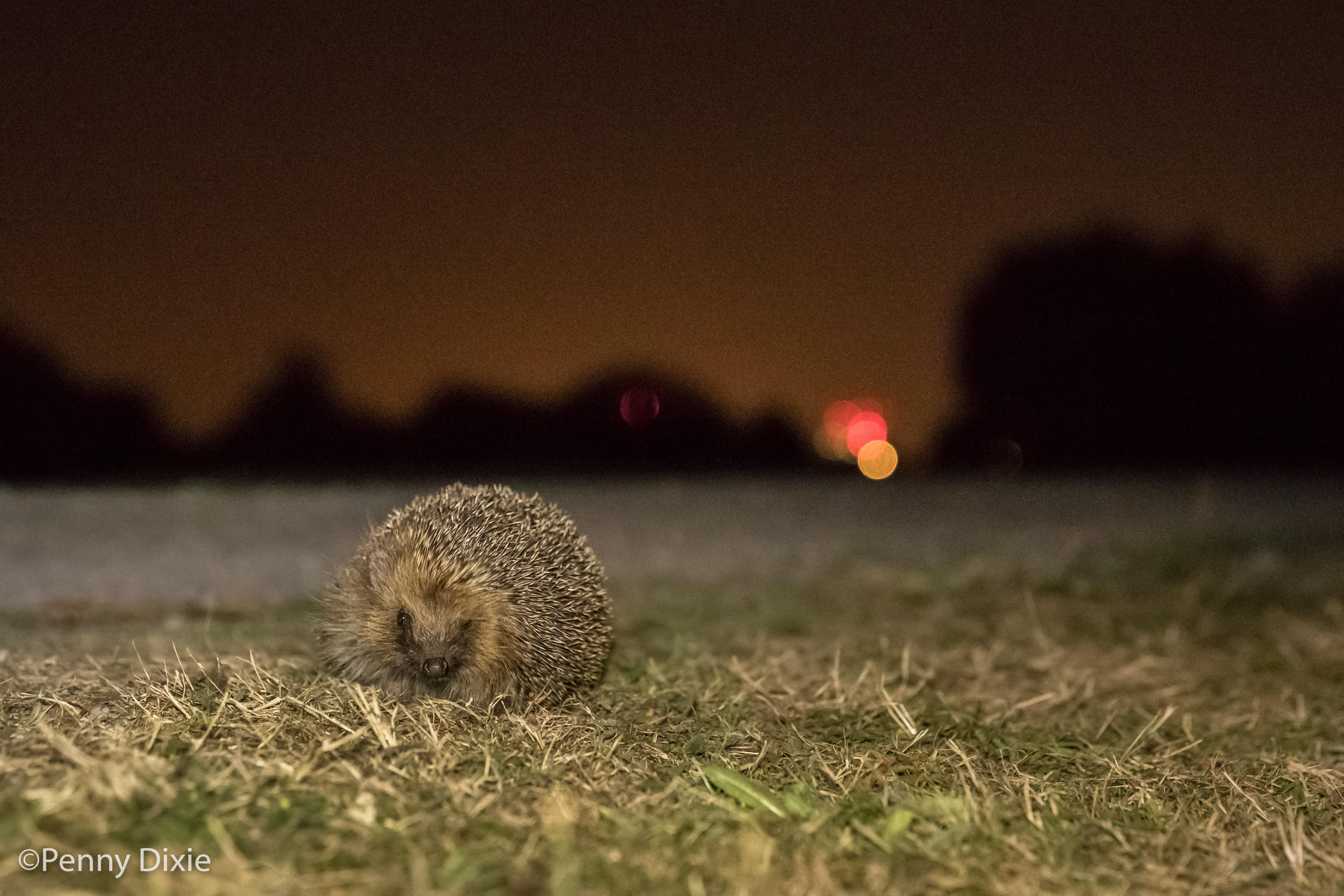 Wild London Late's - Orchids and Hedgehogs