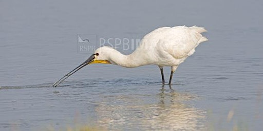 RSPB - Spoonbill Surprise