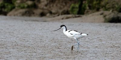 Flight of the Avocet