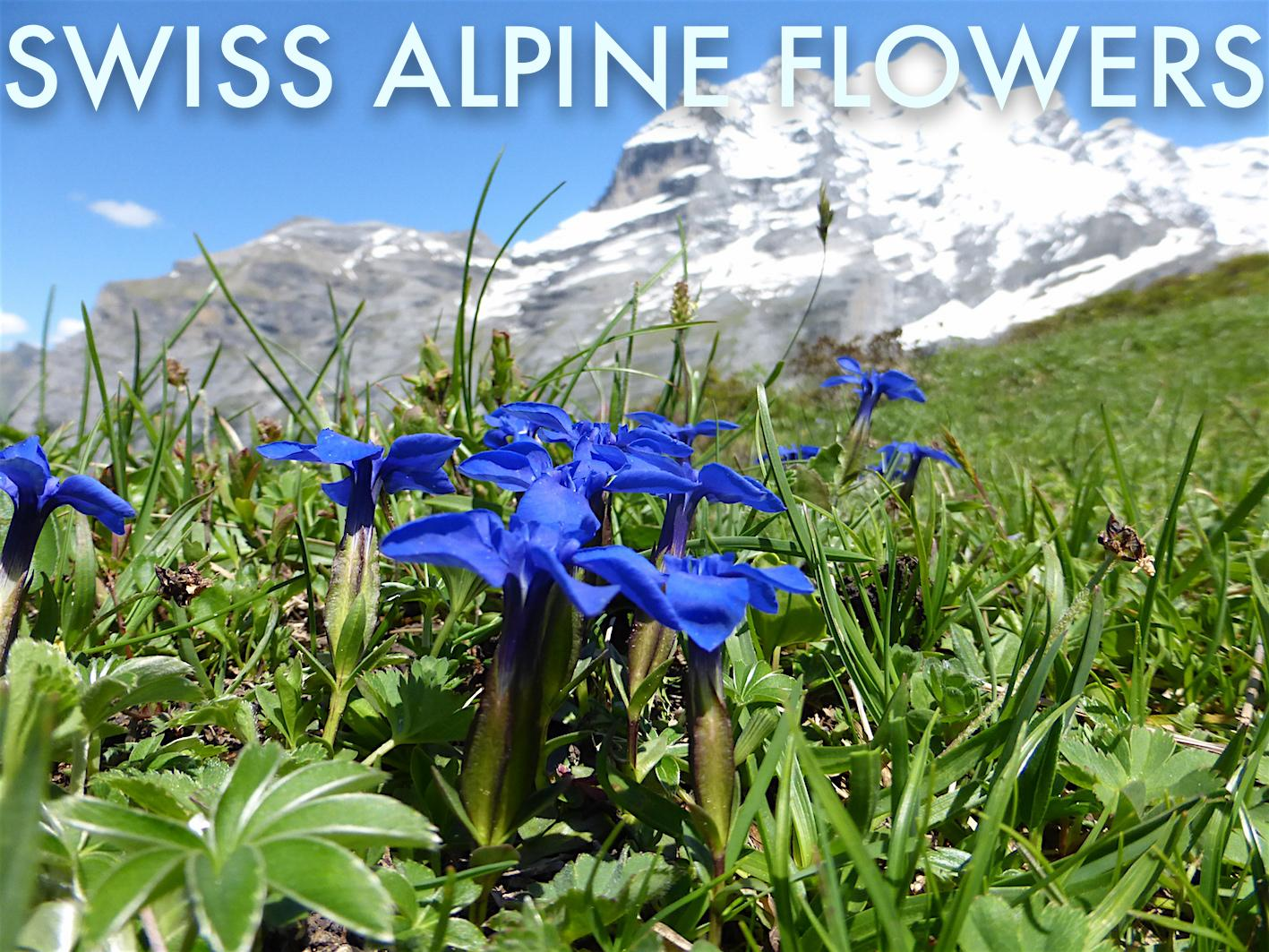 Swiss Alpine Flowers