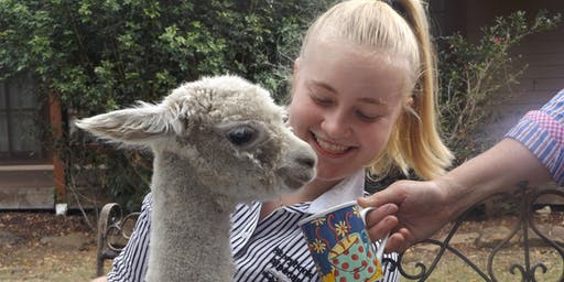 Afternoon Tea with the Alpacas - NSW Southern Highlands