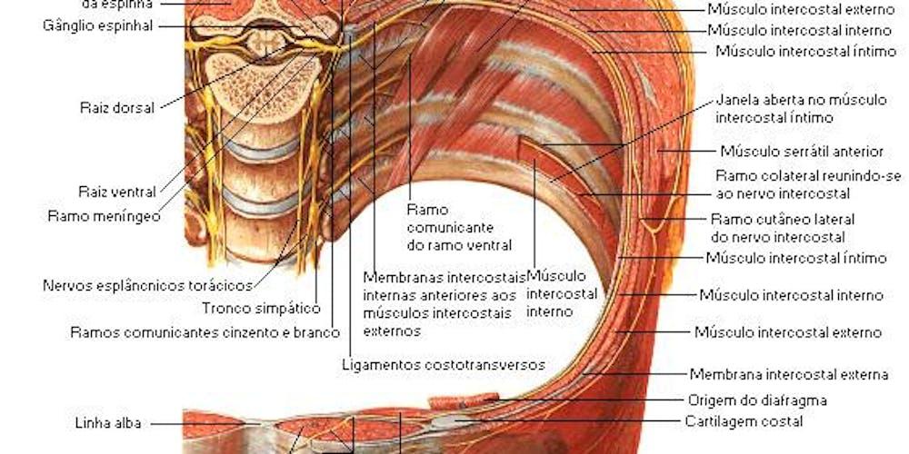 Único Anatomía Músculo Del Diafragma Ideas - Anatomía de Las ...
