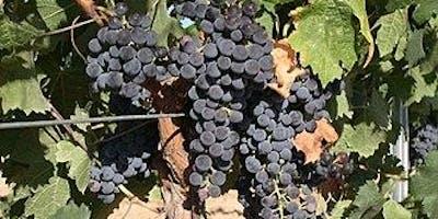 Grapes in a Single Focus - Cabernet Sauvignon