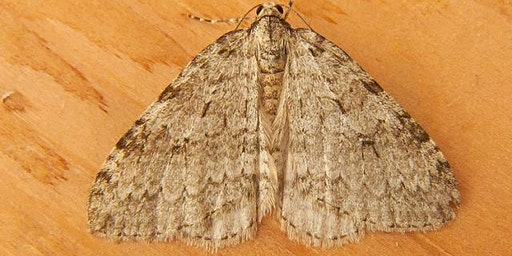 An Introduction to Moth Dissection
