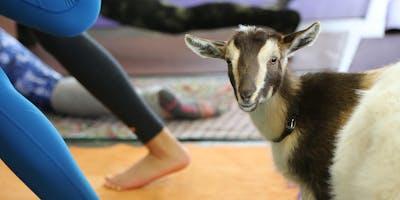 Hello Critter Goat Yoga