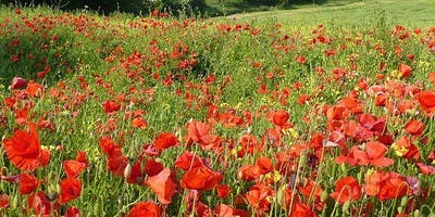 Fields of Remembrance - Ribbon of Poppies