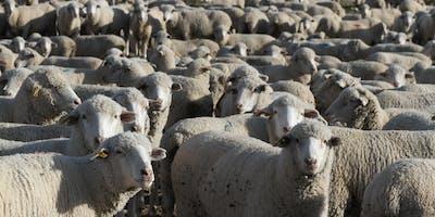 USU Sheep Shearing School 2019