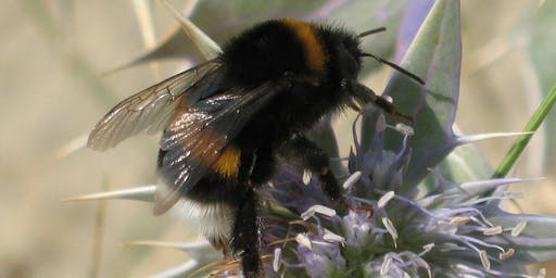 Bumblebees - Ecology and Identification