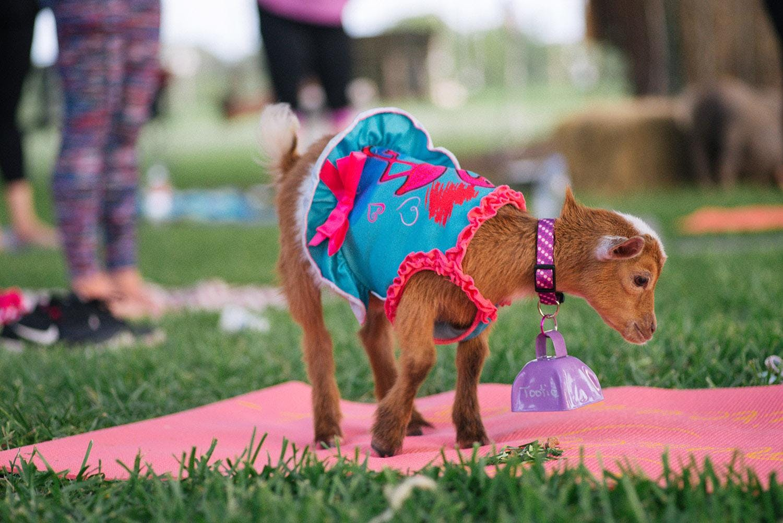 Goat Yoga & Wine Tasting Katy-Fulshear - Friday, November 9th at 5:30 PM