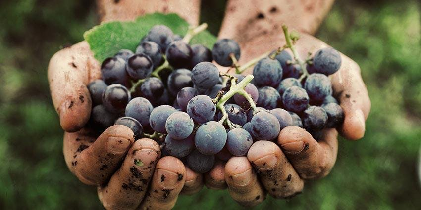 Feature Grape Tasting: Gamay
