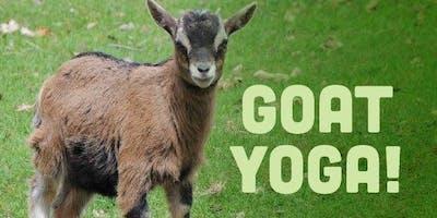 Goat Yoga in Heated Small Barn
