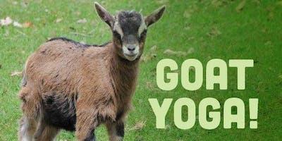 Goat Yoga in Small Heated Barn