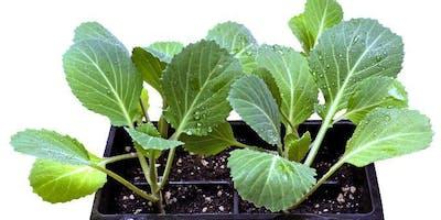 Planting Transplants in the Garden - Classroom in the Garden