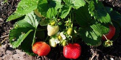 Stawberries in the Home Vegetable Garden- Classroom in the Garden