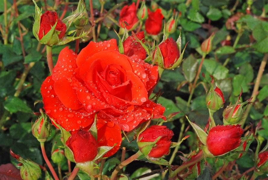 Workshop 'rozen snoeien'