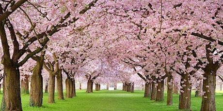 Cherry Blossom Washington DC Bus Tour   tickets
