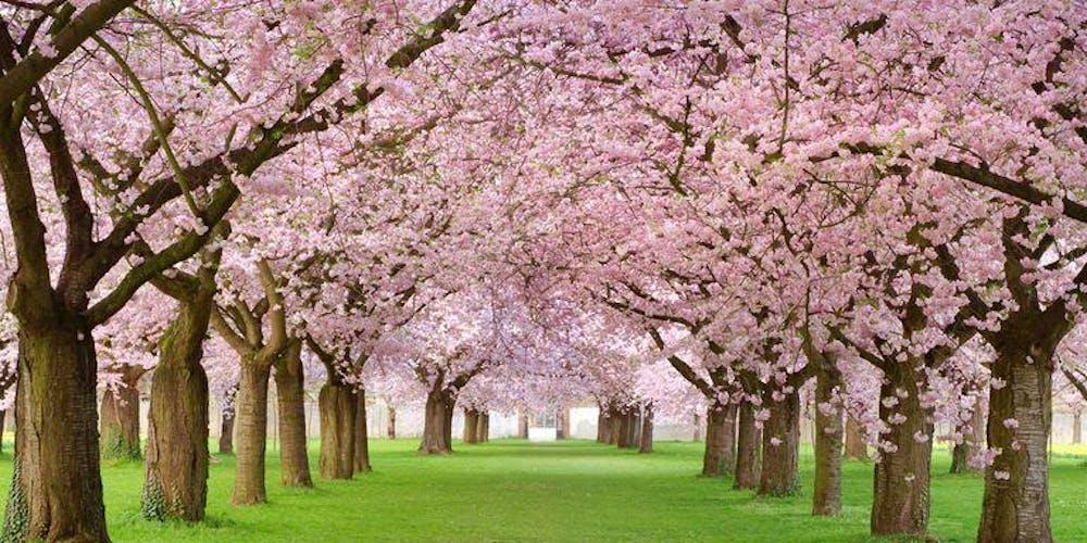 Cherry Festival 2020.Cherry Blossom Tour With Lunch Washington Dc April 2020