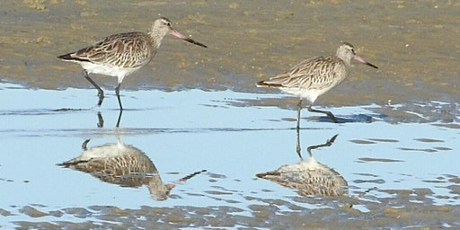 Wild Things: Welcome Back Botany Bay Shorebirds
