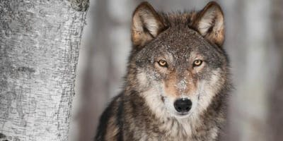 Grand Canyon Wolf Recovery