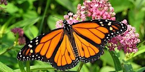The Monarch Butterfly: Art and Science in the Classroom