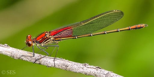 Extraordinary Odonata - Dragonflies!