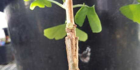 Masterclass: Advanced Propagation, leaf and root cuttings, grafting and budding. Sunday 11th August 2019 tickets