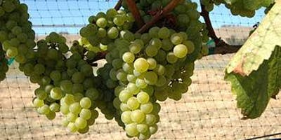Wine Tasting and Dinner - Focus UNUSUAL WHITE GRAPES from around the World