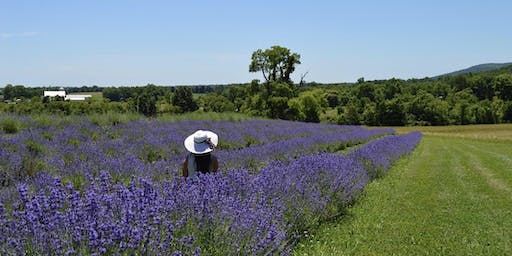 Maryland Lavender Festival at Springfield Manor Winery, Distillery, & Brewery 6/16