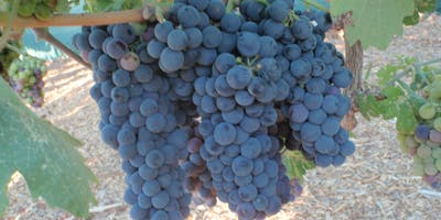 How to Prune Wine and Desert Grapes – Friday
