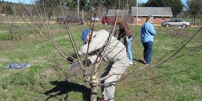 Pruning Fruit Trees 101