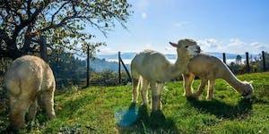 Alpaca Brado meets Marchisoro HUB