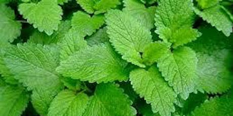 Lemon Balm Harvest with Talia Hammond tickets