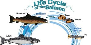 Science in the Valley: Salmon Home Learner...