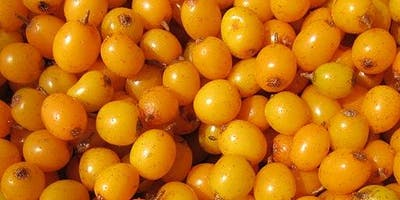 A half day walk and seabuckthorn forage at Kinneil Foreshore