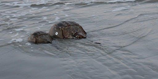 Horseshoe Crabs on Harbor Island