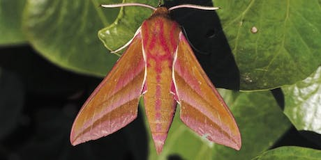 Marvellous Moths at RSPB Strumpshaw Fen tickets