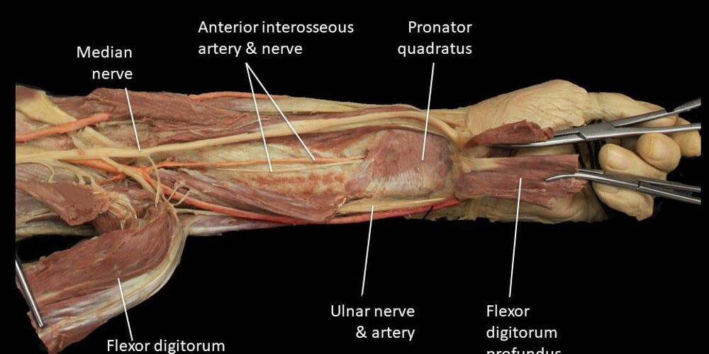 Prosected Upper Limb Review Tickets Multiple Dates Eventbrite