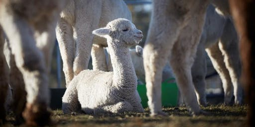 Fibre with Friends Retreat - 5 Star On-farm Alpaca Retreat