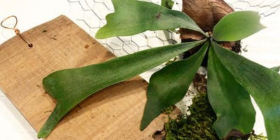 Mounting Staghorn Ferns on Cypress Driftwood