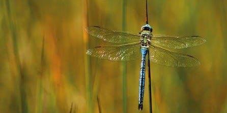 Dragonflies & Damselflies - Ecology & ID