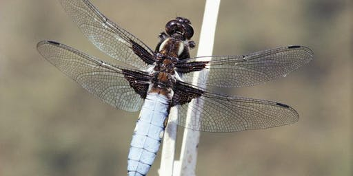 Discovering Dragonflies and Damselflies at RSPB Strumpshaw Fen