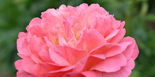 Canadian Peony Society Dinner and Live Auction